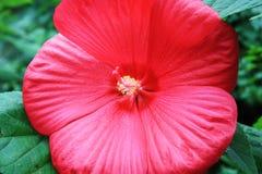 Розовый Hibiscus Стоковые Фотографии RF