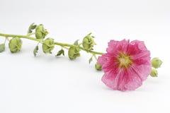 Розовый hollyhock Стоковая Фотография RF