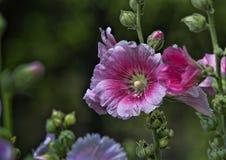 Розовый hollyhock Стоковое Фото