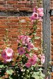 Розовый hollyhock Стоковые Фото