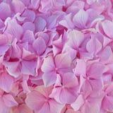 Розовый Hortensia цветет естественная предпосылка стоковое фото