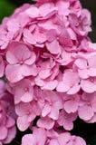 Розовый hydrangea Стоковые Фото
