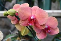 Розовый Laelia орхидеи первоначально в Бразилии стоковое изображение