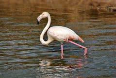 Розовый lat фламинго Phoenicopterus летает над водой Красота, грациозность, особенный шарм и уникальность фламинго стоковая фотография