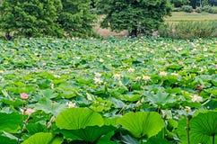 Розовый nuphar цветет, зеленое поле на озере, вод-лилии, пруд-лилии, spatterdock, nucifera Nelumbo, также известном как индийский Стоковые Изображения