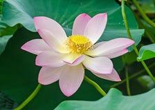 Розовый nuphar цветет, зеленое поле на озере, вод-лилии, пруд-лилии, spatterdock, nucifera Nelumbo, также известном как индийский Стоковые Фото