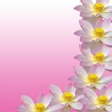 Розовый nuphar цветет, зеленое поле на озере, вод-лилии, пруд-лилии, spatterdock, nucifera Nelumbo, также известном как индийский Стоковое Фото
