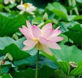 Розовый nuphar цветет, зеленое поле на озере, вод-лилии, пруд-лилии, spatterdock, nucifera Nelumbo, также известном как индийский Стоковое Изображение RF
