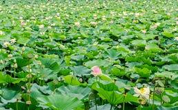 Розовый nuphar цветет, зеленое поле на озере, вод-лилии, пруд-лилии, spatterdock, nucifera Nelumbo, также известном как индийский Стоковые Изображения RF