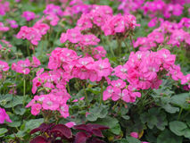 Розовый phlox Стоковые Фотографии RF