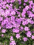 Розовый phlox Стоковая Фотография RF