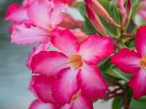 Розовый Plumeria, лилия импалы, пустыня Роза, насмешливая азалия Стоковое Изображение