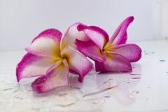Розовый plumeria на дереве plumeria стоковое фото