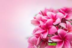 Розовый plumeria на дереве plumeria, цветки frangipani тропические Стоковые Изображения RF