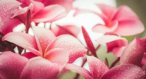 Розовый plumeria на дереве plumeria, цветки frangipani тропические Стоковое Изображение