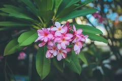 Розовый plumeria на дереве plumeria Стоковые Изображения RF