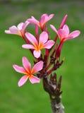 розовый plumeria Стоковая Фотография