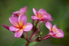 розовый plumeria Стоковая Фотография RF