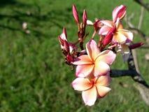 розовый plumeria Стоковые Фото