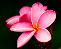 Розовый Plumeria (Frangipani) Стоковая Фотография RF