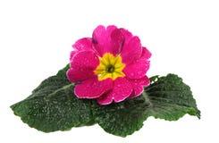 розовый polyanthus Стоковое Фото