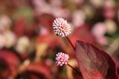 Розовый polygonum и красные лист Стоковые Изображения