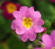 розовый primula Стоковые Изображения RF
