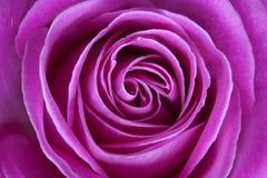 Розовый Rose Стоковое фото RF