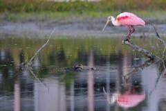 розовый roseate spoonbill Стоковые Изображения
