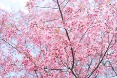 Розовый sakura в Таиланде Стоковые Изображения