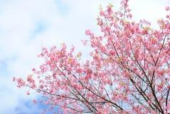 розовый sakura Таиланд Стоковые Фотографии RF