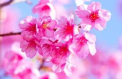 розовый sakura Стоковые Изображения