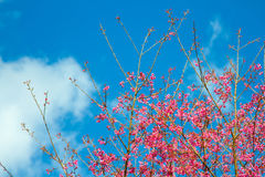 розовый sakura Стоковое Изображение