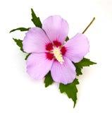розовый sharon стоковые изображения