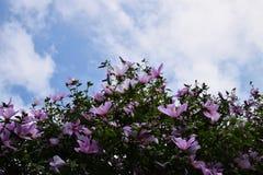 розовый sharon Стоковое Фото