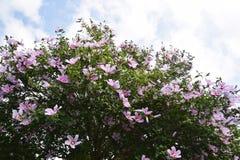 розовый sharon Стоковое Изображение RF