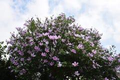розовый sharon Стоковая Фотография RF
