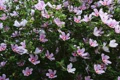 розовый sharon Стоковые Фотографии RF