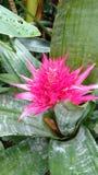 Розовый spiky кактус Стоковые Фотографии RF