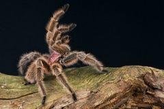 розовый tarantula Стоковая Фотография