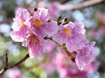 розовый trumpet вала стоковая фотография