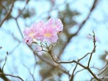 розовый trumpet вала стоковое фото