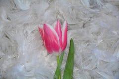 Розовый Tulipa тюльпана подробно лежит на белых пер Стоковая Фотография