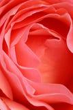 розовый v Стоковое Изображение RF