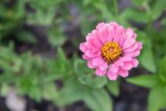 Розовый zinnia в саде Стоковые Фото