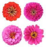 Розовый zinnia Стоковые Изображения RF