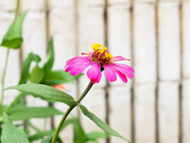 розовый zinnia Стоковое Фото