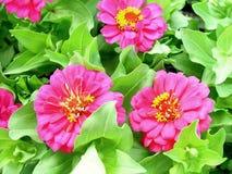 розовый zinnia Стоковая Фотография