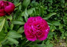 2 розовых листь зеленого цвета цветков Стоковое Изображение