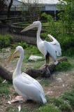2 розовых пеликана на зоопарке Стоковое Изображение RF